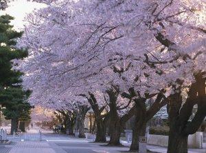 cherry_blossom_kanchogai_dori_aomori