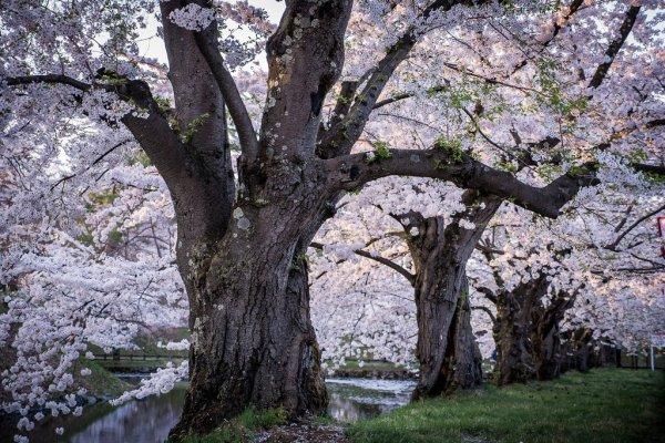hirosaki_park_sakura_aomori_tohoku_japan