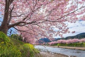 kawazu_river_and_kawazuzakura_shizuoka