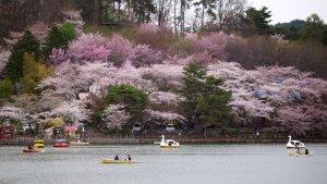 takamatsu_park_sakura_in_iwate