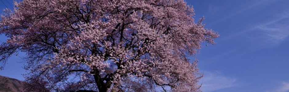 10 Famous Cherry Blossom Trees to Visit in Japan