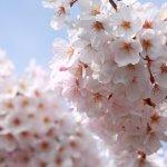 white_cherry_blossoms_japan