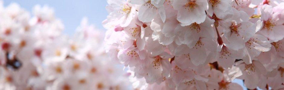 10 Most Popular Sakura Varieties in Japan