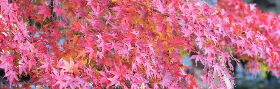 Autumn Leaves in Kamakura 2016