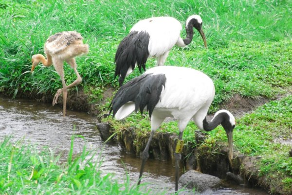 red_crowned_cranes_in_kushiro