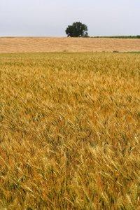 wheat_field_in_biei