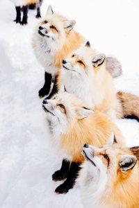 zao_fox_village_shiroishi_japan