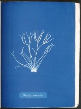 cyanotype-anna-atkins-algue-a18