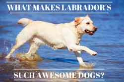 Distinguished Yellow Lab Splashing Through Vibrant Blue Water Are Labs Good Reasons Why Labradors Are Such My Dog Can T Catch Food Dog Can T Catch Food Instagram