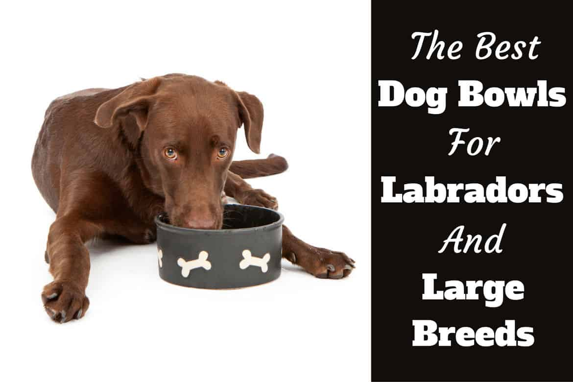 Cushty Large Breeds Written Beside Two Dogs Isolated On Dog Bowls Labs Bowls Labradors Big Extra Large Dog Won T Drink Water Or Eat Food Dog Wont Drink Water Reddit bark post Dog Wont Drink Water