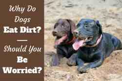 Double Why Do Dogs Eat Dirt Written Beside Labs Laying On Sand Try To S Why Does My Dog Shake When He Sleeps Why Does My Dog Shake When She Breas Dirty Faces Why Do Dogs Eat Should I Be Worried