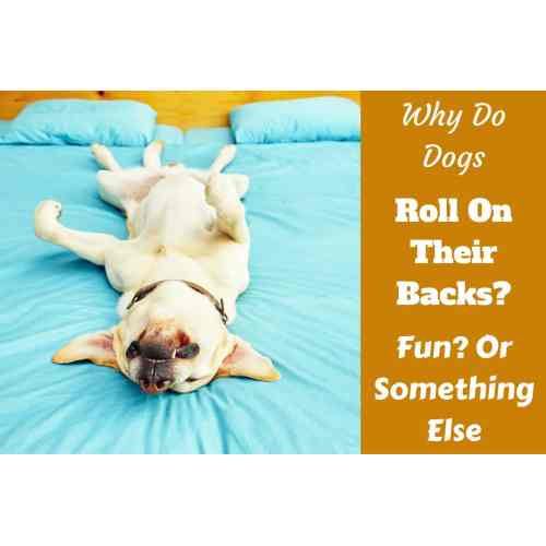 Medium Crop Of How To Teach Your Dog To Roll Over