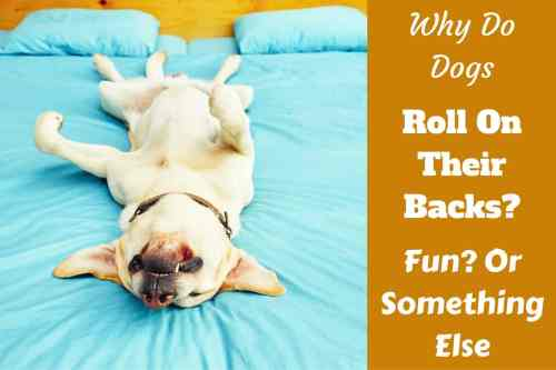 Medium Of How To Teach Your Dog To Roll Over
