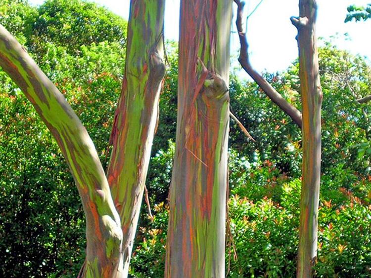 Fantasticos colores Eucalipto Arco Iris