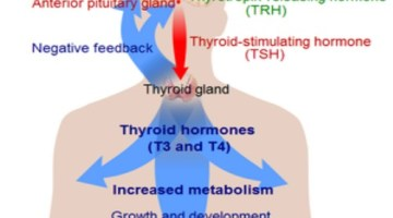 How To Treat Thyroid Problems During Menopause