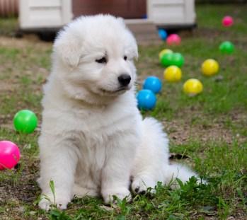 Cachorro nacido en casa 5 semanas.