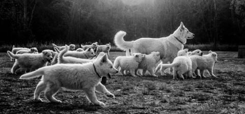 Una imagen que define bien a Cresta.... Protectora con sus cachorros y en esta ocasión también con los de Fusta.