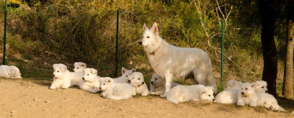 Cresta cuidando a sus cachorros y los de Fusta.