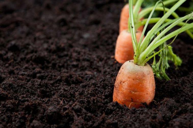 Como sembrar zanahorias en el huerto la huertina de toni - Que plantar en el huerto ...
