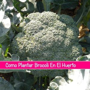 Como Plantar Brocoli En El Huerto