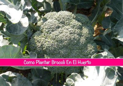 Como plantar brocoli