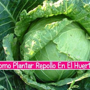 Como Plantar Repollo En El Huerto
