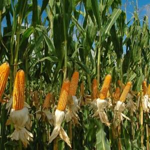 Cultivo Del Maíz Como sembrar En La Huerta