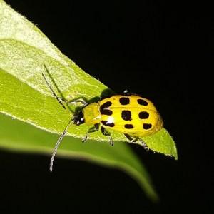 Escarabajo del Pepino, aprende a combatirlo