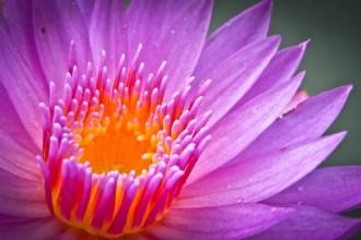 lotus qui illustre la position du lotus en yoga