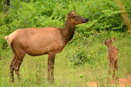 Elk cow and calf, June 2014, Photo by Ray Stainfield