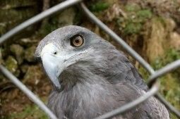 Falcon in captivity