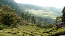 Growing tea into the Wild