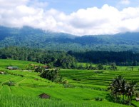 Terraced rice fields with forests in the distance, Bali, Indonesia. Daniel Murdiyarso/CIFOR photo