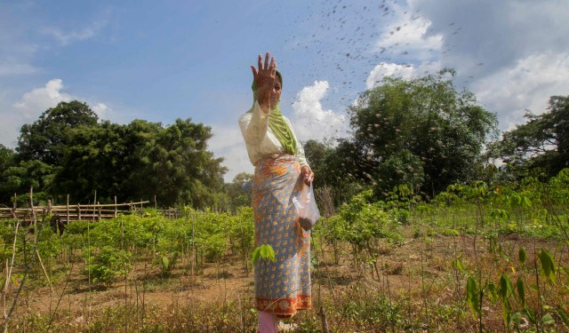 A Lubuk Beringin farmer, Rosminah, spreads organic fertilizer to her rubber seedling on her farm in Jambi province, Indonesia. Photo by Tri Saputro / CIFOR.