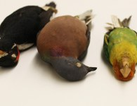 Species lost from the eastern forests of the U.S. – from left to right: Ivory-billed Woodpecker, Passenger Pigeon, Carolina Parakeet and Bachman's Warbler. Alexander C. Lees ©Cornell University Museum of Vertebrates, Author provided