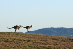 Eat locals: swapping sheep and cows for kangaroos and camels could help our environment
