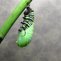 Raupe entpuppt sich als Schmetterling
