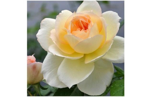 #FlowerFridayRoses5