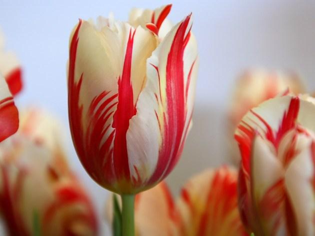 FlowerFridayTulips2