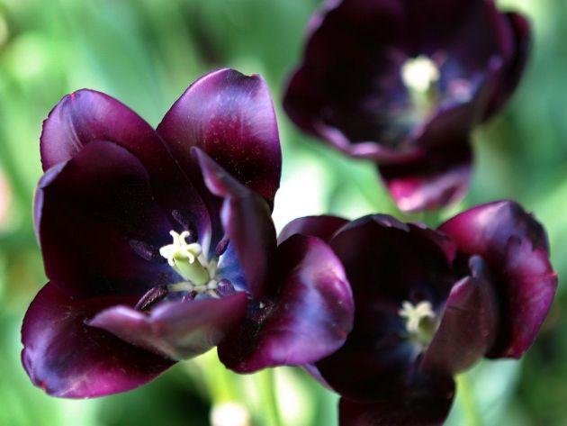 FlowerFridayTulips4