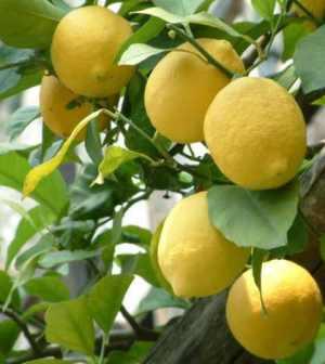 limoni-sicilia