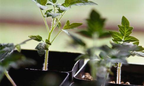 plantones-semillero