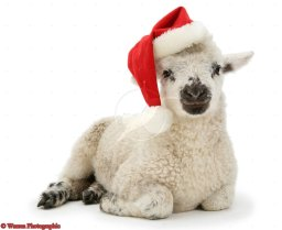 Lamb wearing a Father Christmas hat