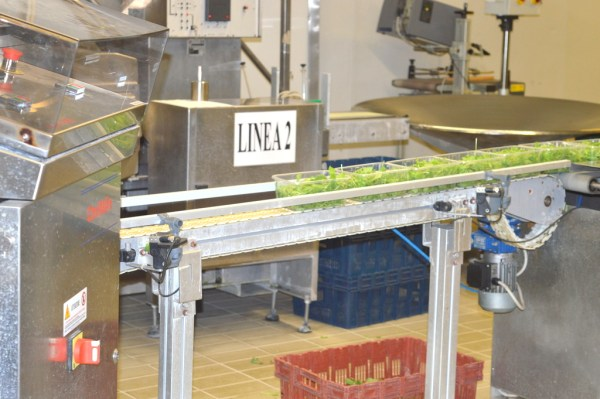 Conveyor belts transfer the produce for packaging