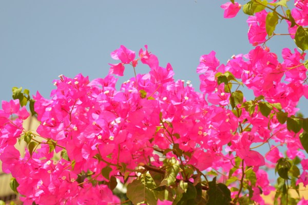 Bougainvillea in Datça