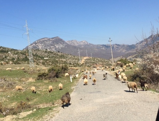 albania goats on road