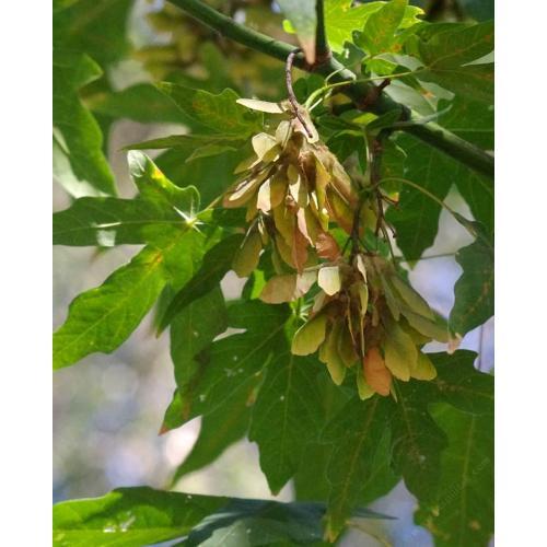 Medium Crop Of Maple Tree Seeds