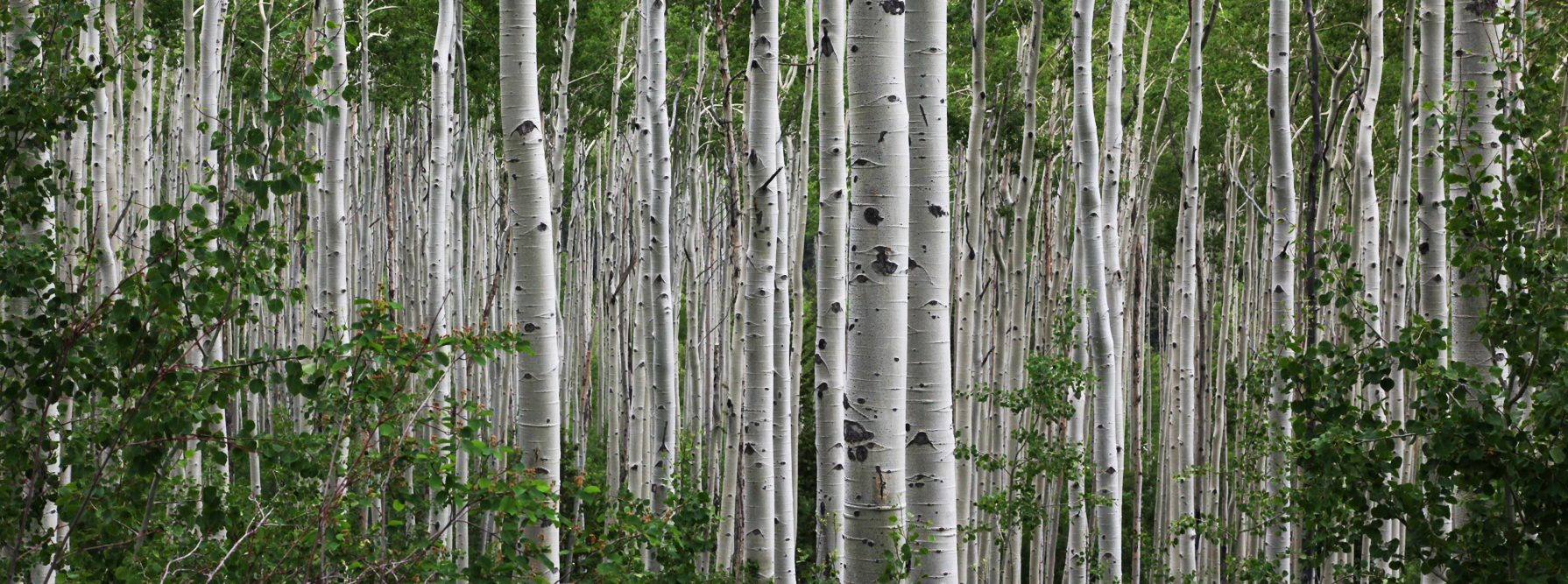 aspen-grove-cropped-plain