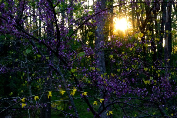 Redbuds and forsythia at sunrise signaling a new season