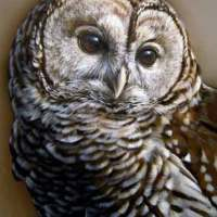 Barred Owl - New Miniature Painting